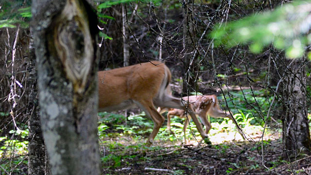 A fleeting glimpse of a mama deer and her baby...