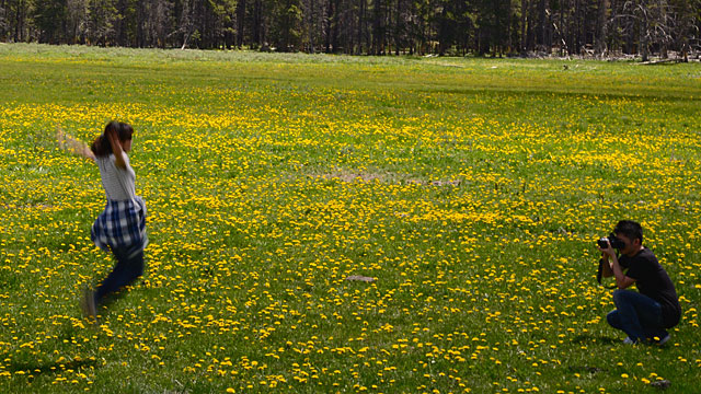 Dandelions are everywhere in Yellowstone